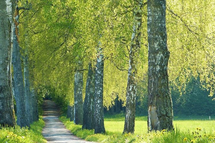 Im März beginnt die Blütezeit der Birken. (Bild: Pixabay)