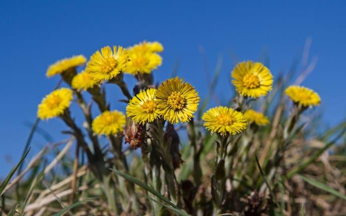 Huflattich blüht schon früh im Jahr (Bild: Getty Images)