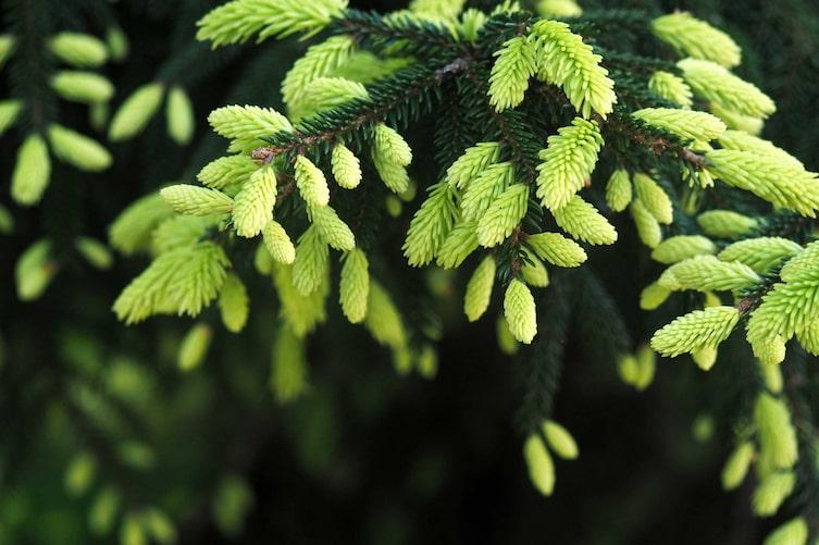 Maiwipfel an einer Fichte (Bild: Getty Images)