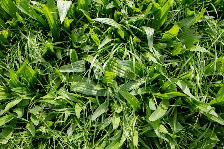 Spitzwegerich wächst meistens auf Wiesen (Bild: Getty Images)