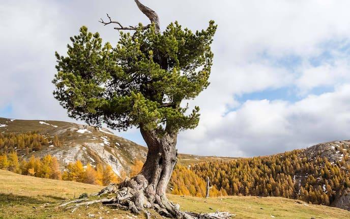 Zirbe, Zirbenbaum, Naturapotheke, Alm