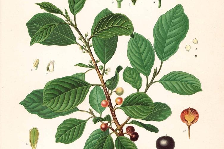 Naturapotheke, Faulbaum, Verstopfung, Hausmittel, Verdauung