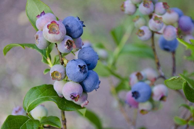 Heidelbeere, Naturapotheke, Naturheilkunde