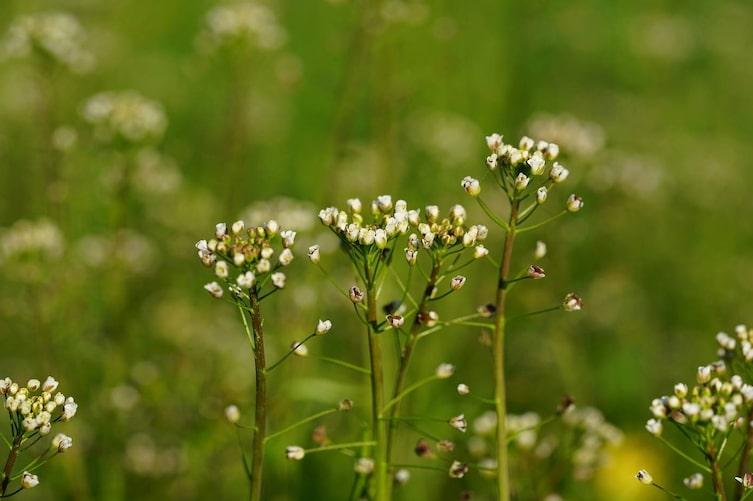 Hirtentäschel, Heilpflanze, Heilkraut, Naturapotheke, Servus
