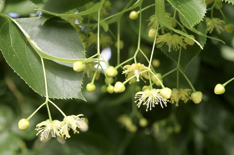 Lindenblüte (Bild: Mauritius Images)