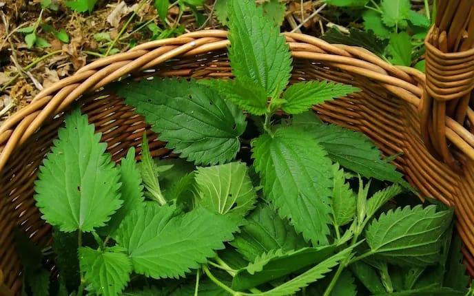 Brennnesselpflanzen im Weidenkorb (Bild: Pixabay)
