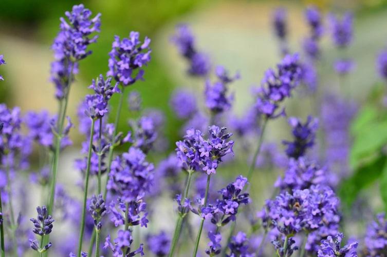 Lavendel, Lavendel richtig pflanzen, Levendel pflegen, Lavendelpflege