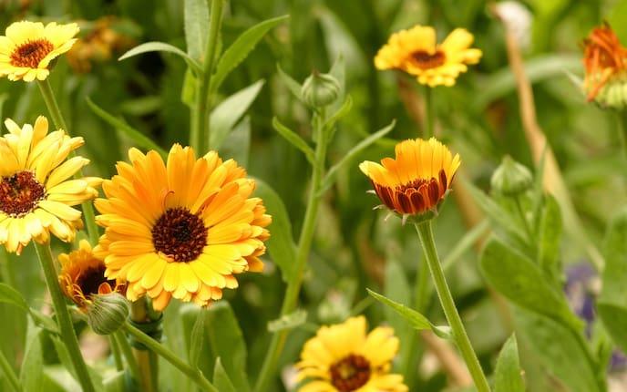 Ringelblumen, Blume, Heilkräfte Ringelblume