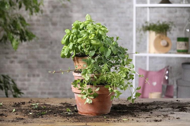 Kräuterturm, Garten, Tontöpfe, Tontopf, Basilikum, Minze, Liebstöckel