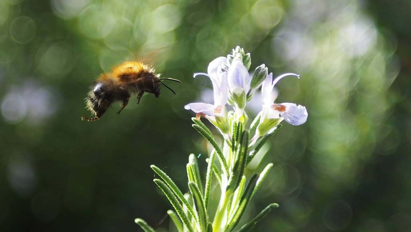 Biene, Blüte, Blume, Anflug, Bienen helfen