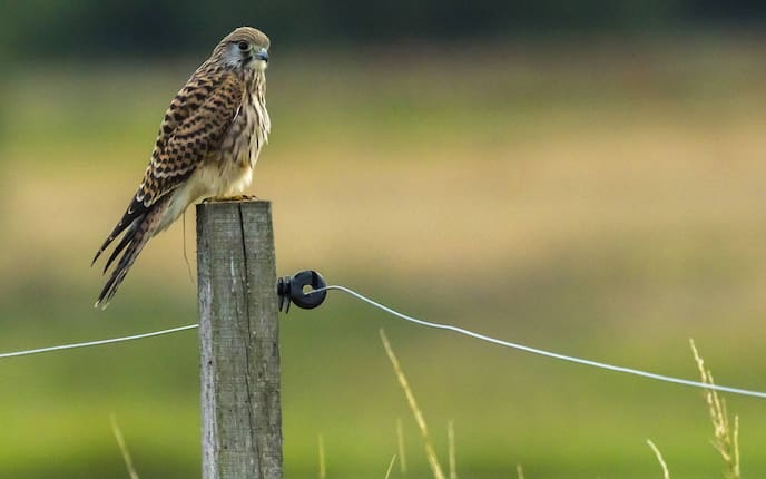 Falke, Tiere, Tierwissen, Jäger