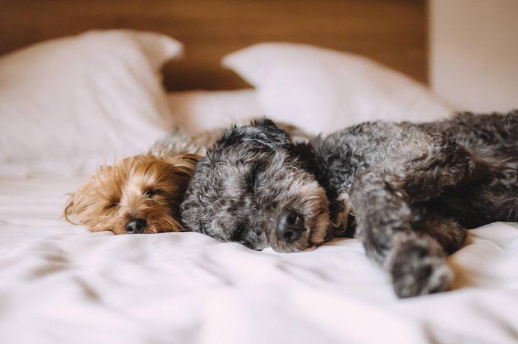 Darf der Hund im Bett schlafen? (Bild: Pexels)