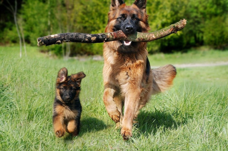 Zwei Schäferhunde (Bild: Pixabay)