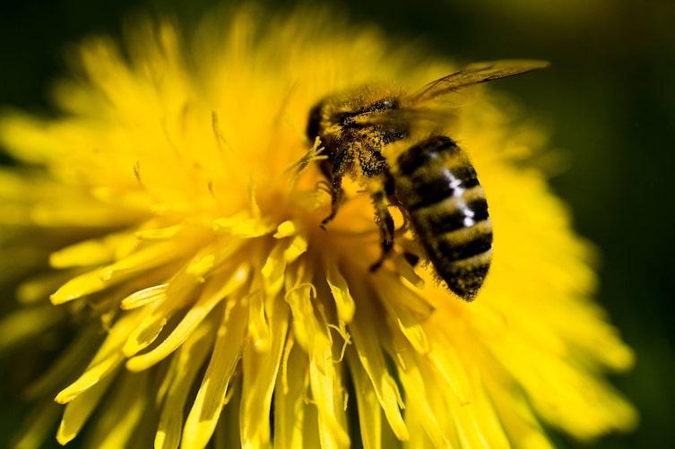 Biene auf Löwenzahn (Bild: Michael Reidinger)