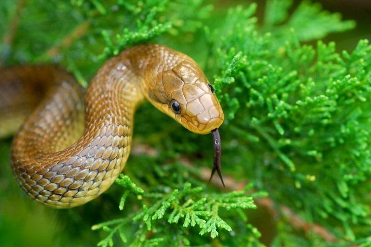 Äskulapnatter, Schlange, züngeln, Zunge